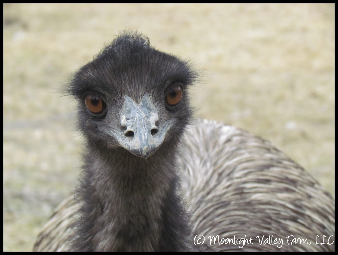 emu hatching egg 2700 moonlightvalleyfarmcom store