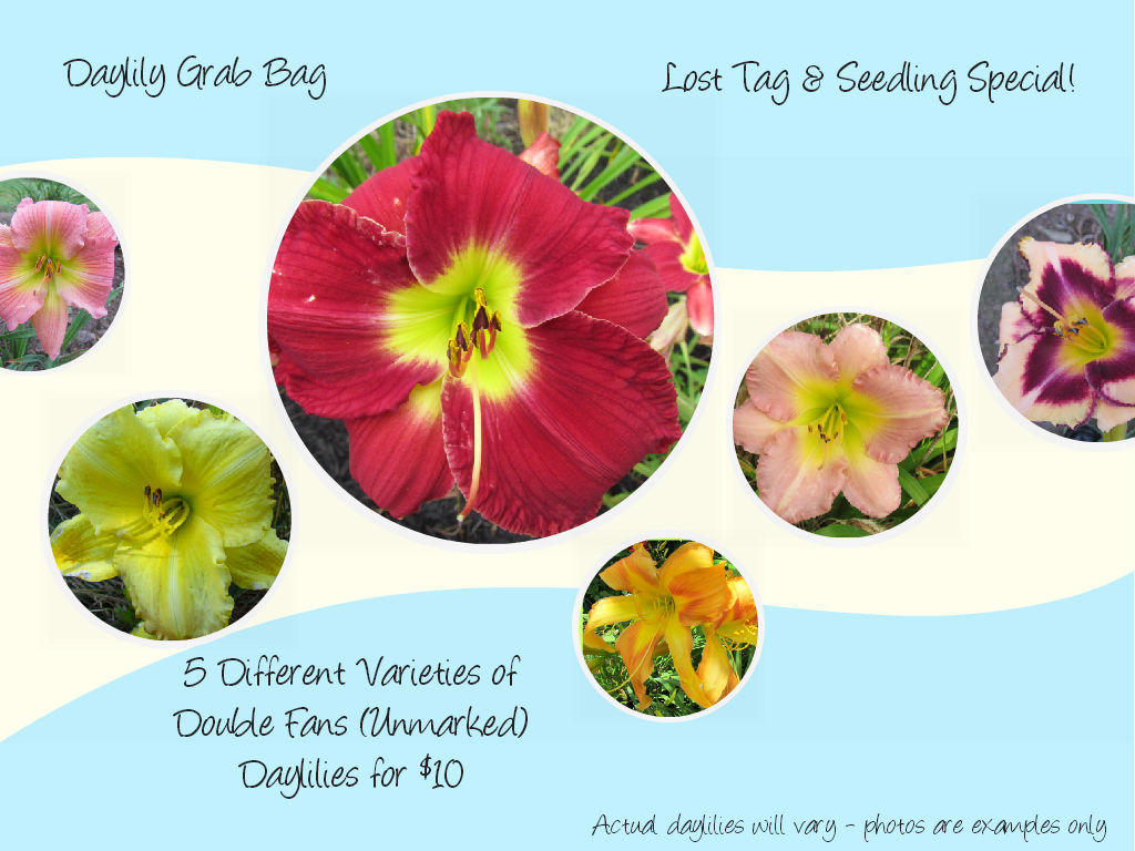 *Daylily Grab Bag